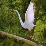 Airone bianco foto di Elio De Stefani