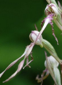 Himantoglossum adriaticum  05-30-2013DSC_2474 (21)
