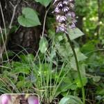 Orchis purpurea foto di Silvio Froldi Paganini